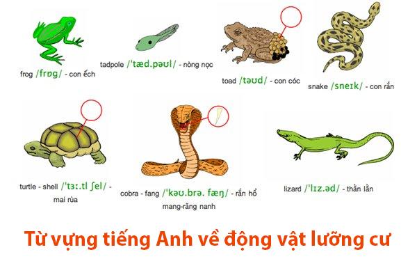 Từ vựng tiếng Anh về động vật lưỡng cư